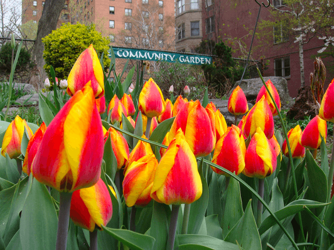 Tulip Festival at West Side Community Garden
