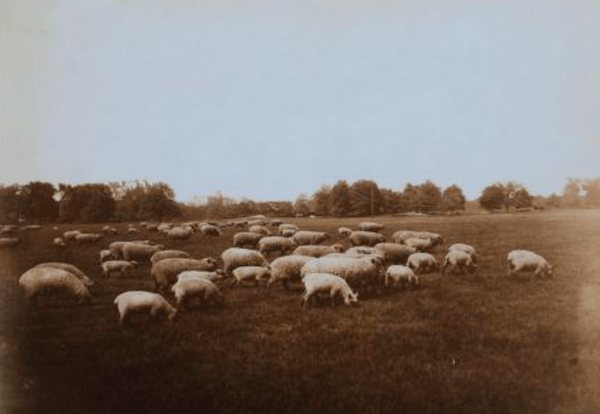 Sheep Grazing in Central Park