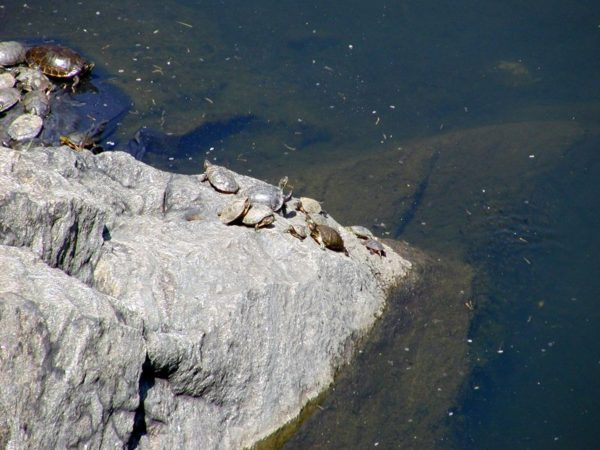 The Turtle Pond in Central Park