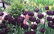 Annual Tulip Festival West Side Community Garden