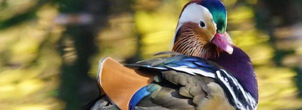 Mandarin Duck in Central Park
