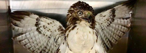 Hawk Rescued From Central Park Reservoir