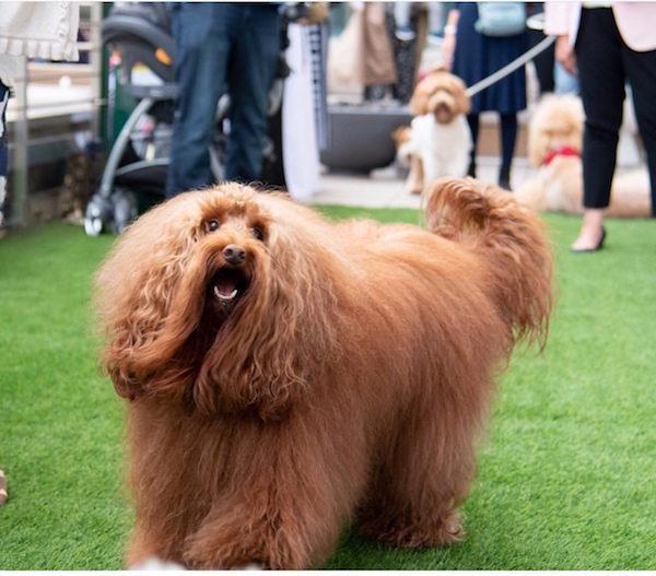 Prince NYC Dog