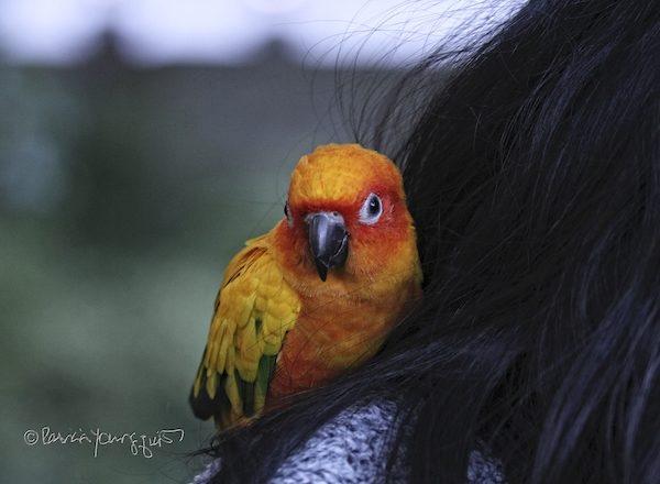 Mango Parrot
