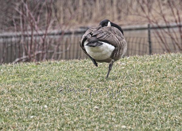 central park goose