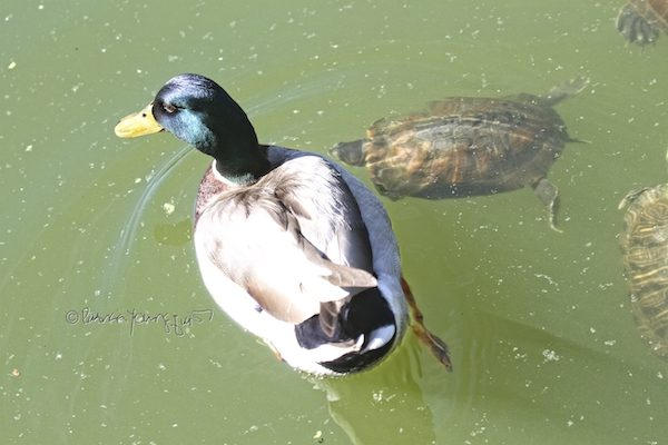 duck and turtle in Central Park