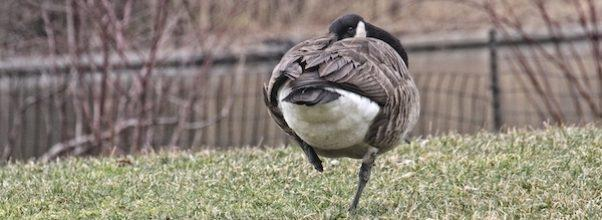 The One-Legged Goose and Her Faithful Partner