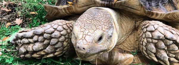 Henry – The Tortoise of Central Park