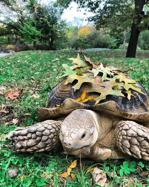 Henry Tortoise Central Park
