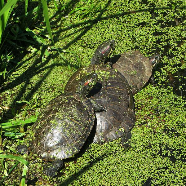 Invasive Turtles Central Park NYC