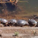 Turtles Are Invading Central Park