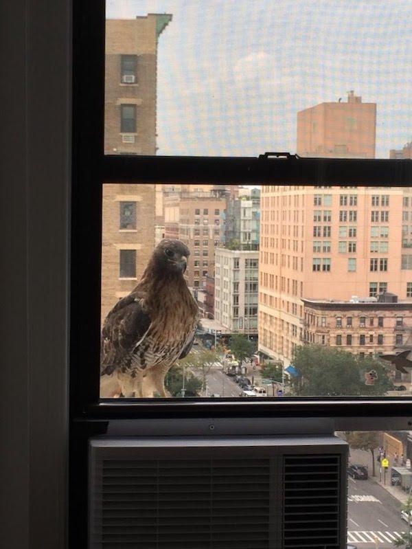 hawk sighting NYC