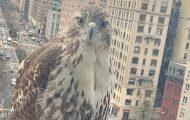 red tailed hawk NYC