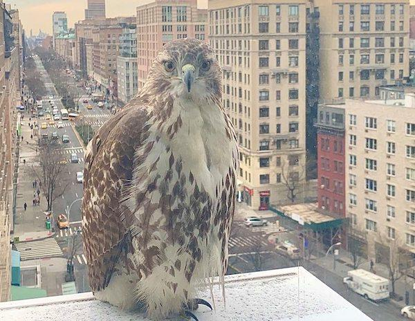 red-tailed hawk upper west side