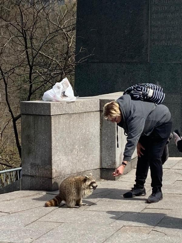 Central Park South Raccoon