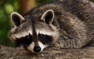 NYC Raccoon Sightings