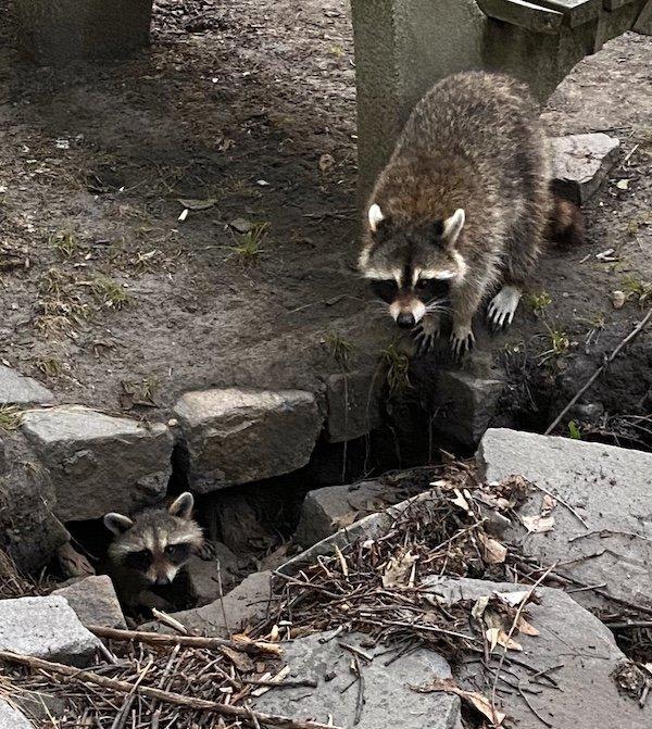 Baby Raccoon Riverside Park