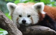 Central Park Zoo Red Panda