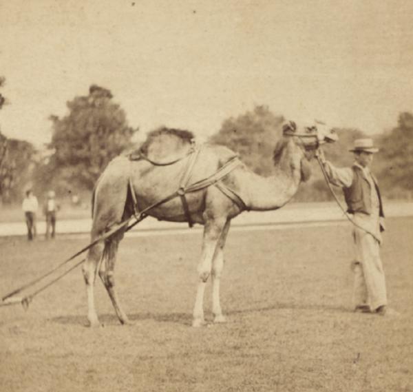 Central Park camel