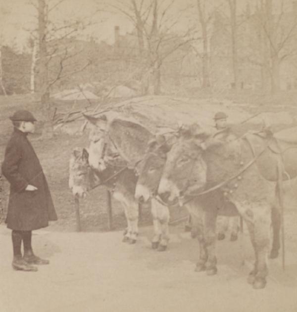 Donkeys in Central Park