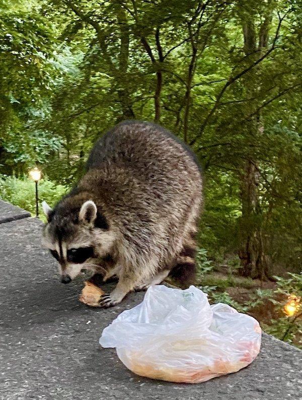 Raccoon Raids Bag