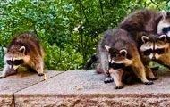 A Raccoon Takeover in Riverside Park