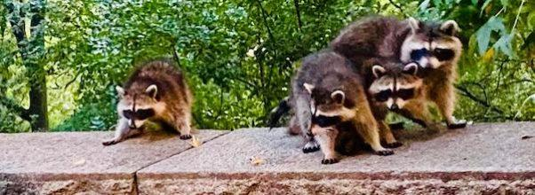 Raccoon Takeover