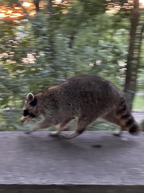 Raccoon on the Run
