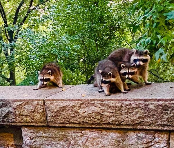 Riverside Park Raccoon Takeover