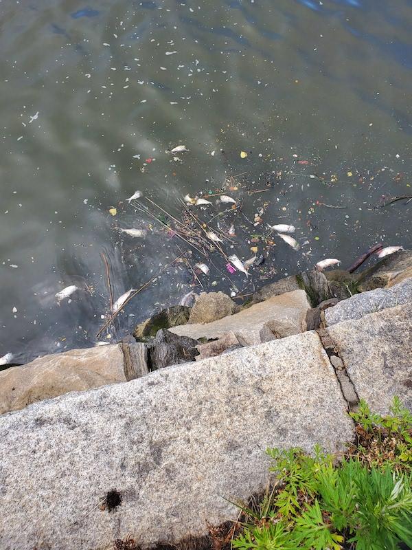 dead fish Hudson River