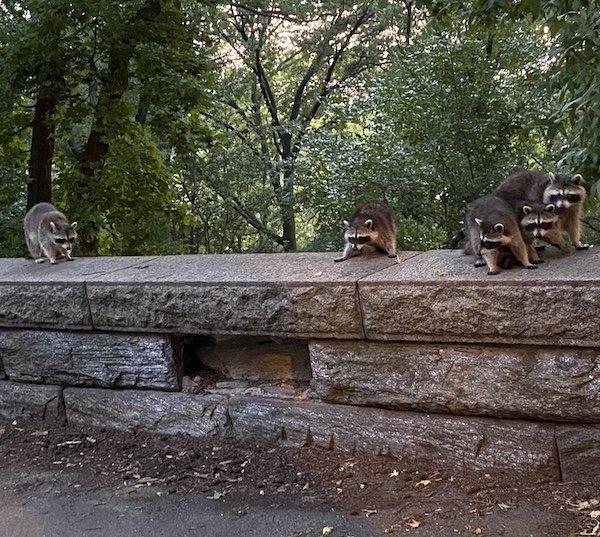 raccoon sanctuary NYC