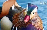 Bette Midler Mandarin Duck Children's Book