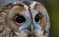 Central Park's Newest Star: The Barred Owl