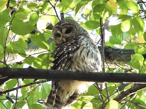 Barred Owl Riverside Park