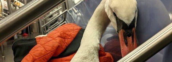 injured swan rides subway Wild Bird Fund