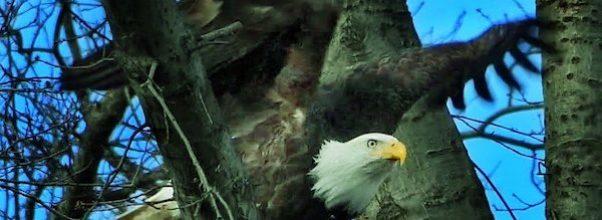 bald eagle sighting Manhattan