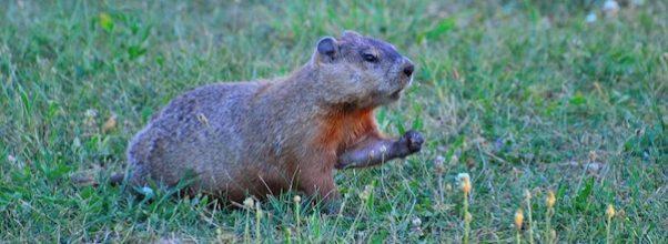 Groundhog Spotted in Morningside Park
