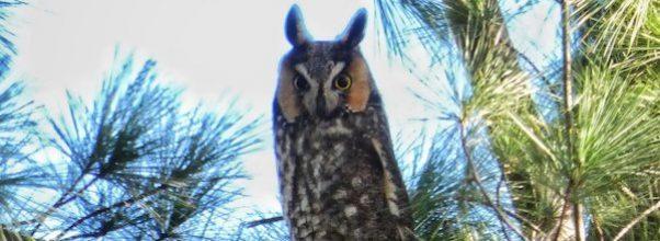 long-eared owl Central Park