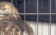 Lucky Hawk Rescued