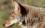 Coyote Spotted Near Reservoir