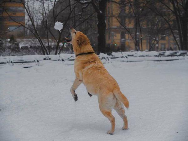 dog catching snowball strawberry fields nyc