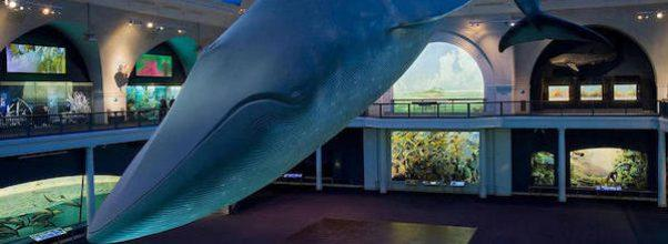 Vaccination Site to Open Under AMNH's Blue Whale