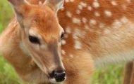 Report of Deer Sighting in Morningside Heights