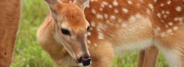 deer sighting Morningside Heights