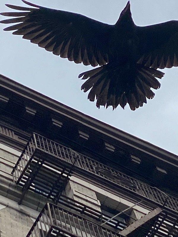 mid flight raven