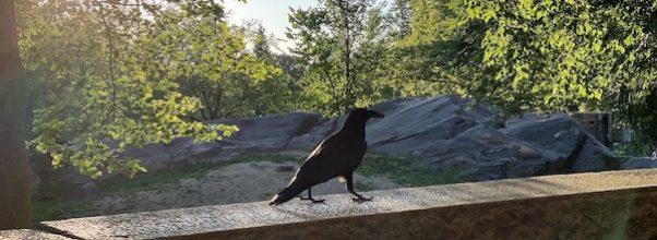 More Raven Sightings
