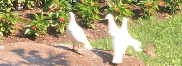 White Doves Spotted in Lincoln Square