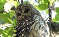 A Vigil For the Barred Owl