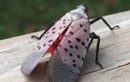 Spotted Lanternflies are EVERYWHERE