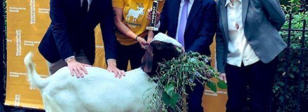 Chalupa is the Best Goat